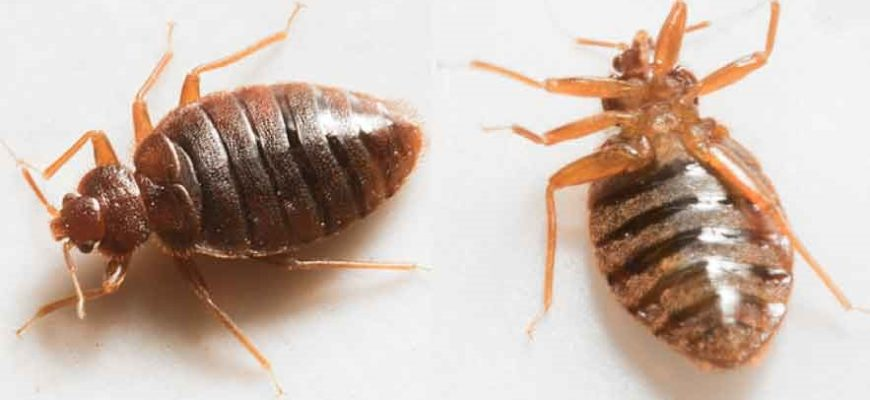 Interesting Facts about Bed Bugs That You Should Know