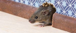 Help! Best Rat Prevention Tips When you Have Rodents