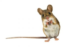 Rats and Mice can be a Danger! Get Rid of Them