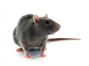 Rats – They are a Huge Risk in Your Home and Workplace