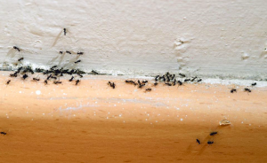 How to get rid of ants.