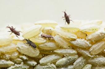 eliminating pantry pests