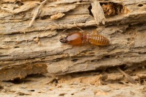 Do Termites Eat Hardwood?