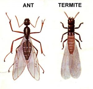 Flying Ants or Termites?