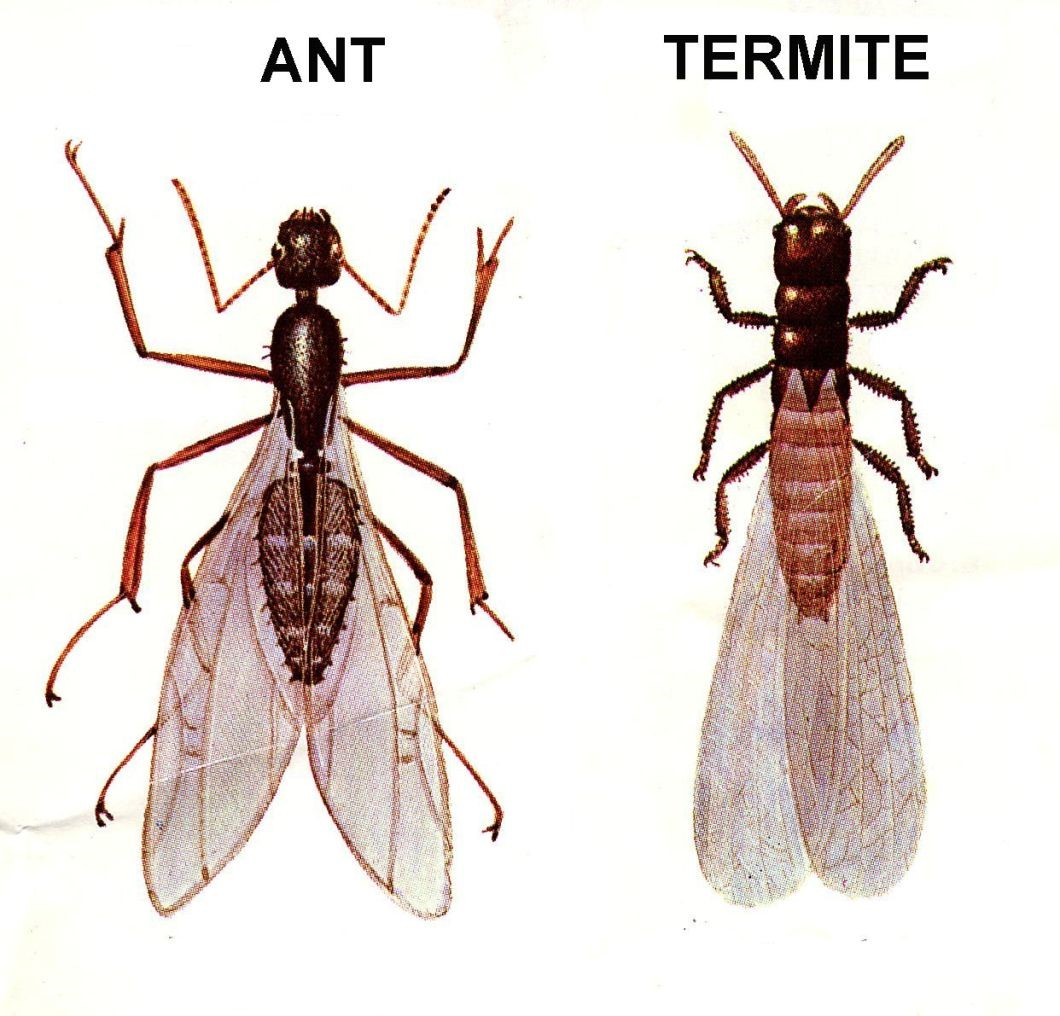 Flying Ants Or Termites Safeguard Pest Control