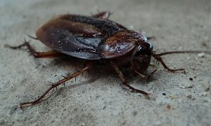 Cockroach Eradication