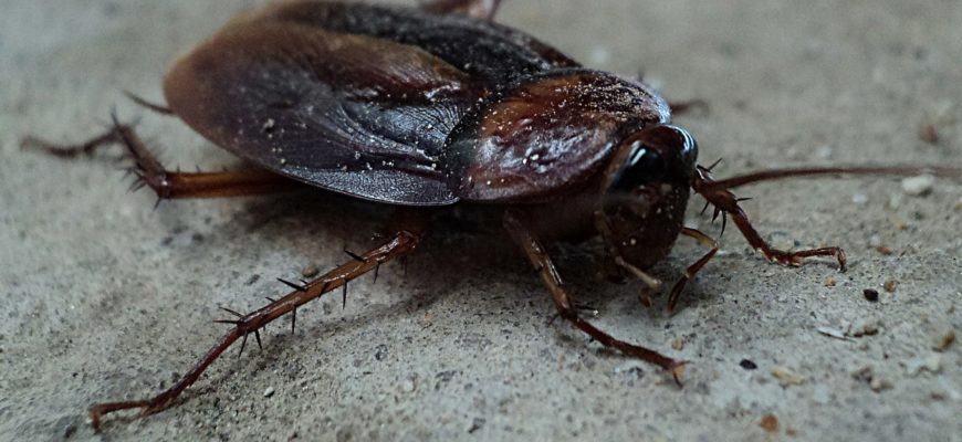 Cockroach Eradication