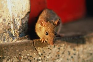 Rats & Mice Are Pests – Get Rodent Pest Control, Today