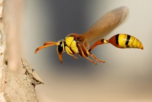 How to Deal With Wasps around Your Home