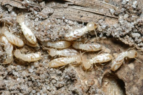 Termite Inspection, Sunshine Coast, Termites Sunshine Coast
