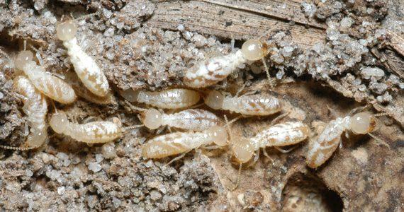 Termite Inspection, Sunshine Coast, Termites Sunshine Coast