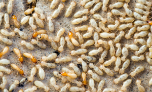 8 Signs of Termites in Your Home