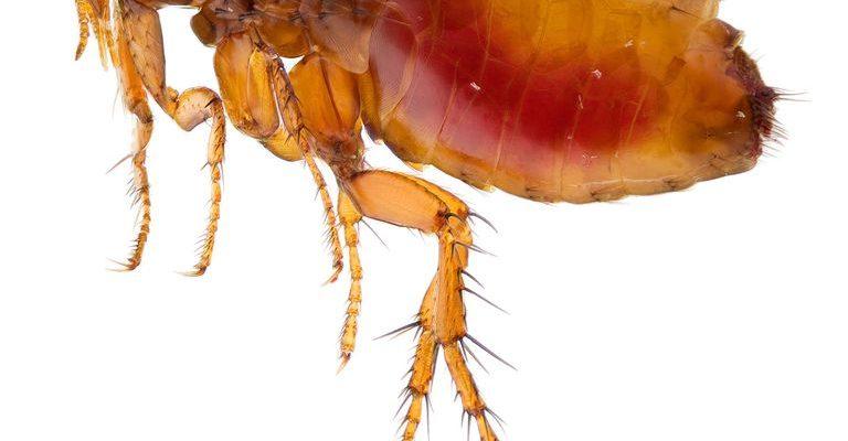 How To Prevent Fleas