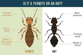 How To Identify Termites, What do termites look like