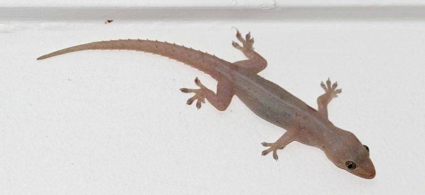 Asian Geckos and How To Control Them