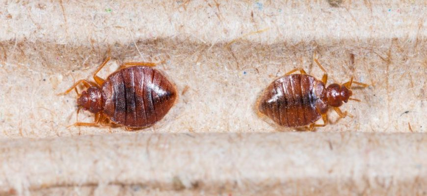 It Is… or Is It Not? 7 Bugs That Look Like Bed Bugs But Aren't