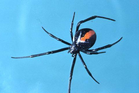 Redback Spiders