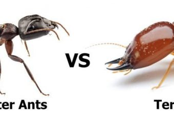 What Is the Difference Between Carpenter Ants and Termites?