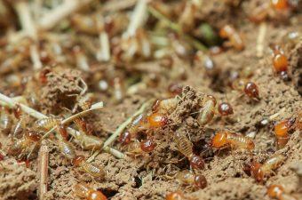 termites in garden
