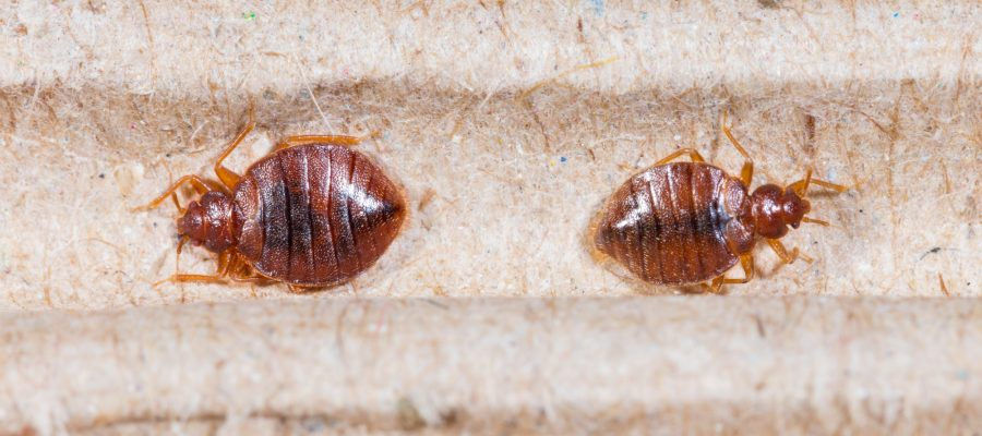 bed bugs in the workplace