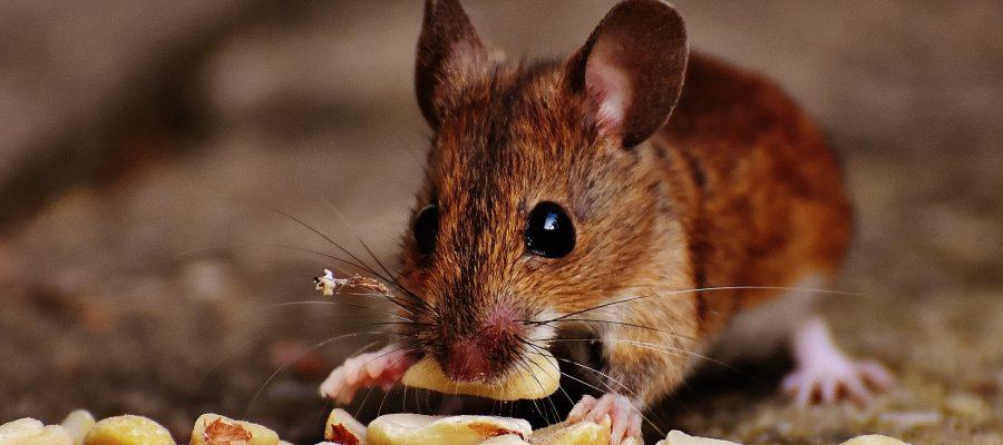 mouse infestation